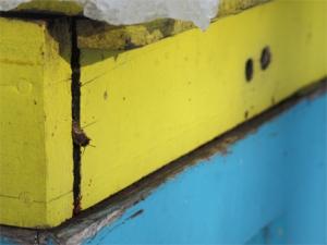 Honeybee exits  top collar of hive