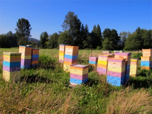 Colorful hives before honey harvest