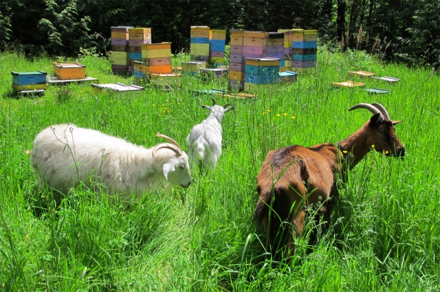 Goats browse in front of bee hives