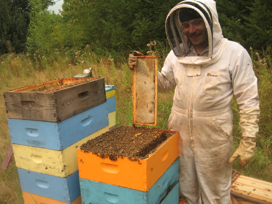 Beekeeper holds frame of honey above a hive during honey harvest