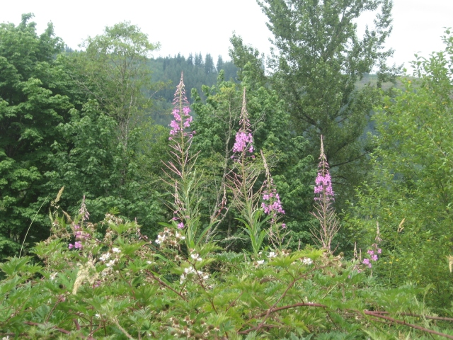 Fireweed and Blackberries near Brookfield Farm, WA